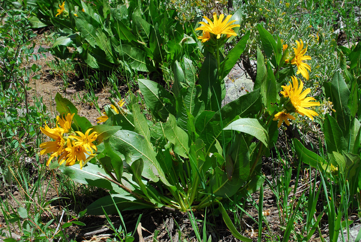 A leafy plant with bright yellow flowers growing among lush green alpine vegetation.